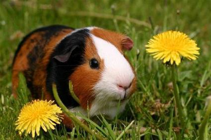 how many bald guinea pigs live