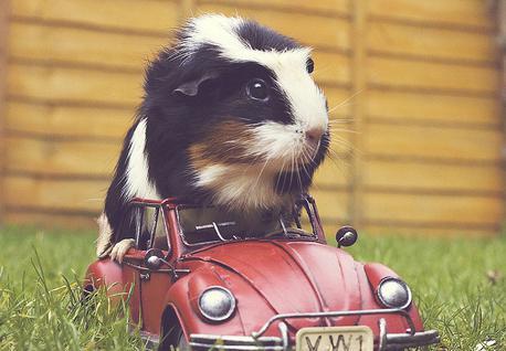 how many guinea pigs live