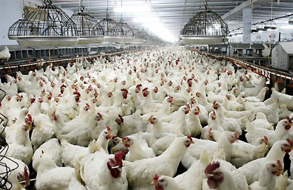 породы куриц несушек