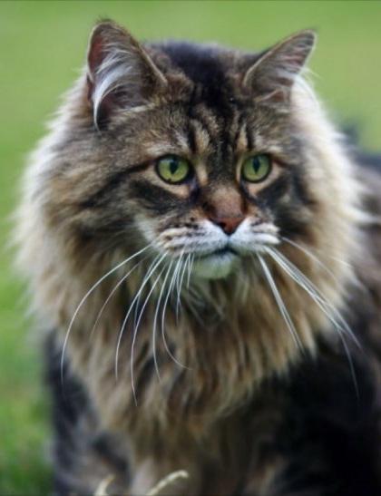 кошки порода мейн кун