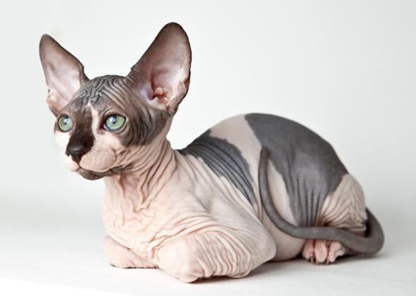 bald sphinx cats