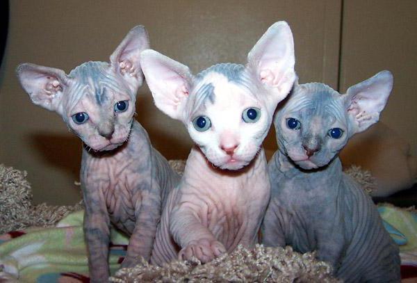 bald cats name