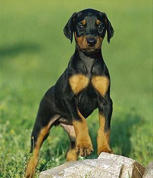 German Pinscher breed description