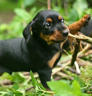 German Pinscher puppies
