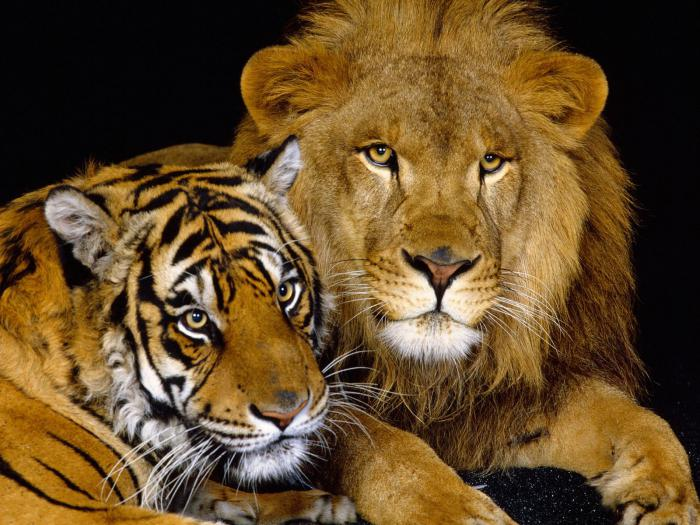 Who is bigger - a lion or a tiger?