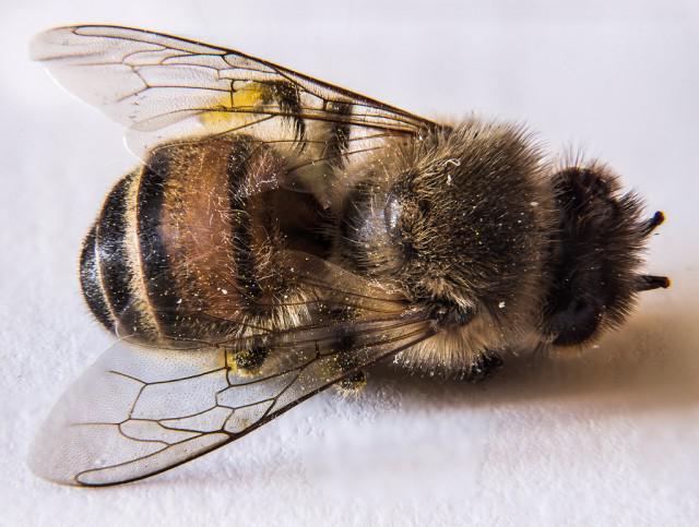 Пчелиный подмор в народной медицине