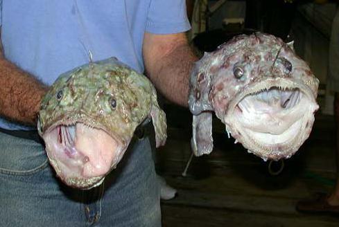 Monkfish photo