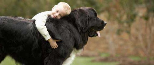 newfoundland dog breed Price
