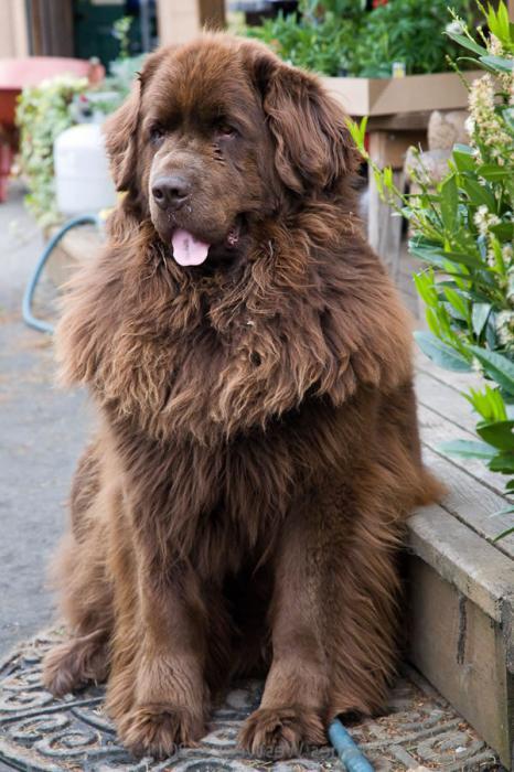 Newfoundland dog proper care