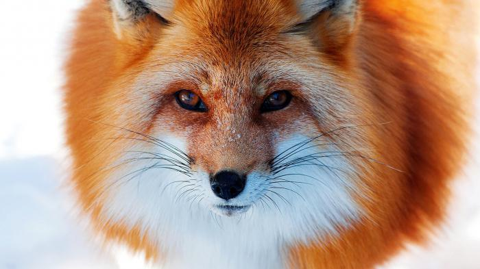 why dream of a red fox