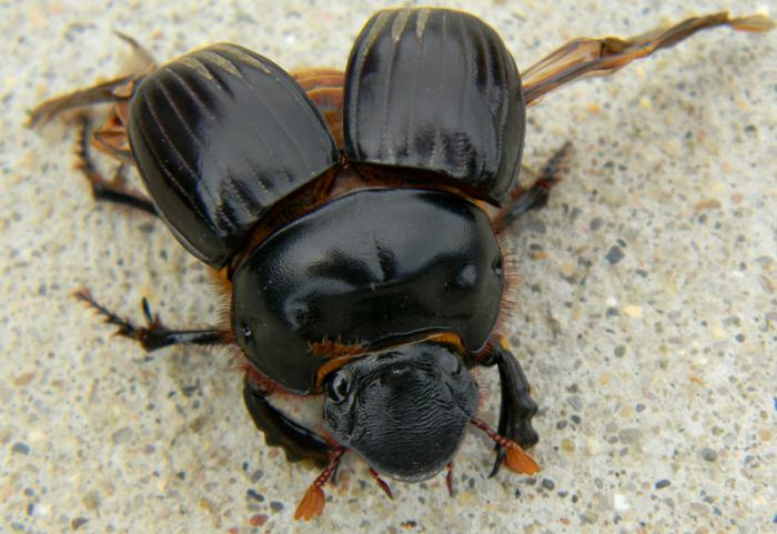 what dung beetle eats