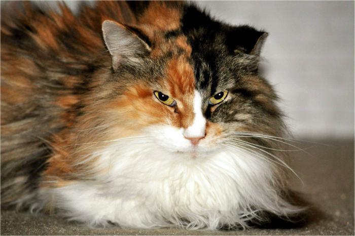 Norwegian Forest Cat character