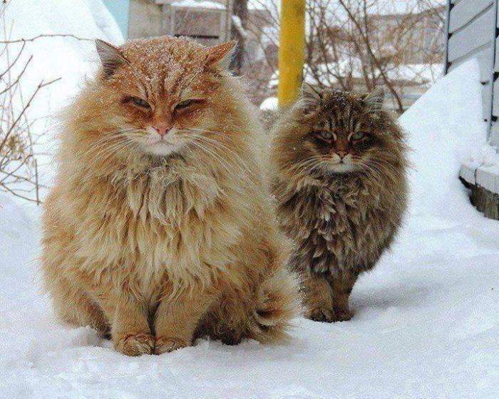 Norwegian Forest Cat life in nature