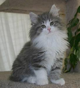 Norwegian Forest Cat black and white