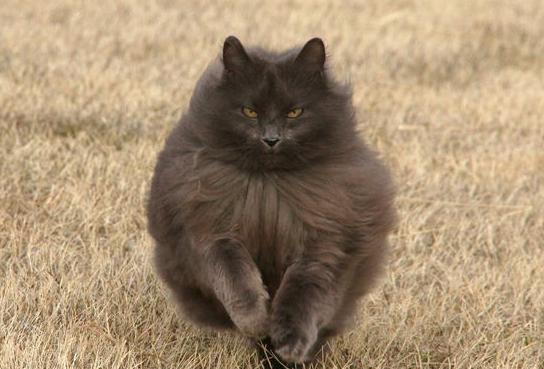 Norwegian Forest Cat black