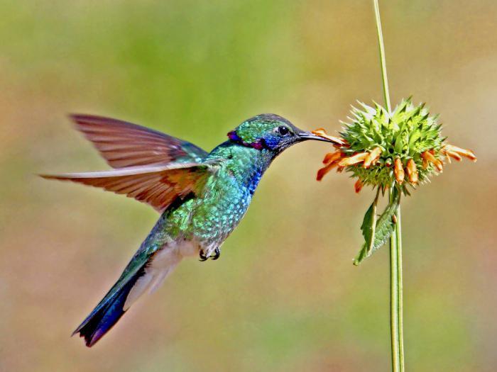 выполняет картинки самой маленькой птички в мире отличие традиционной обеденной