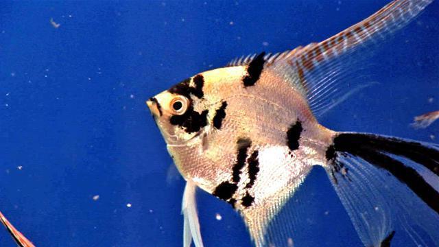 scalar fish breeding