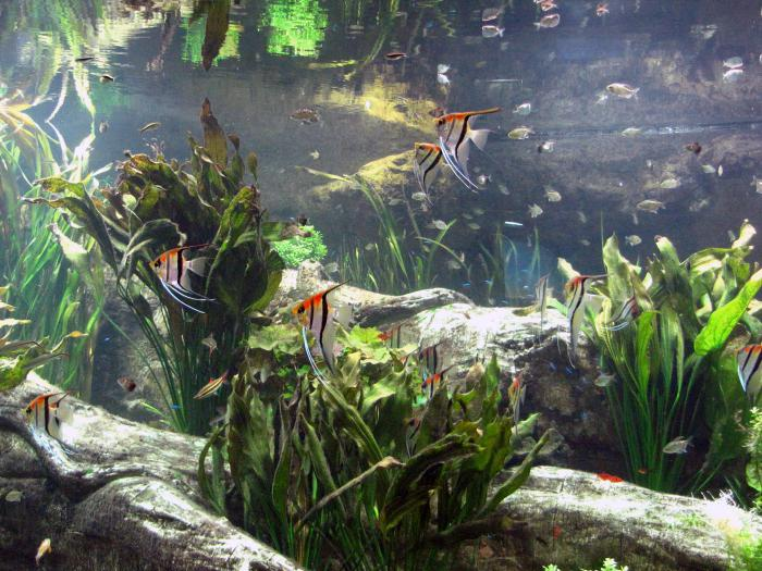 breeding angelfish in the aquarium