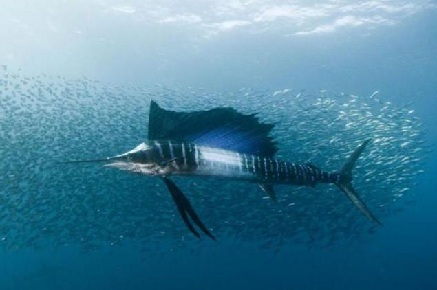 sailboat fish