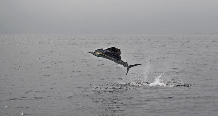 fish sailboat description
