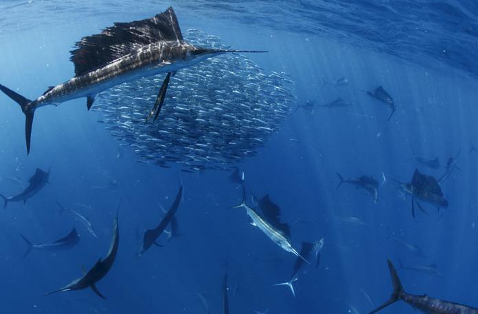 sailboat fish speed