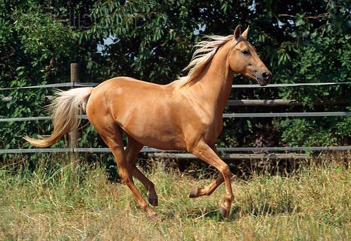 ахалтекинская порода лошадей характеристика