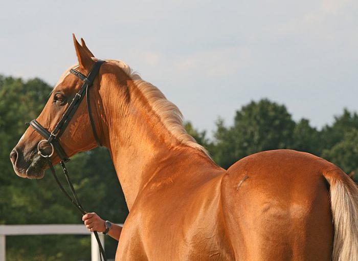 ахалтекинская порода лошадей характер