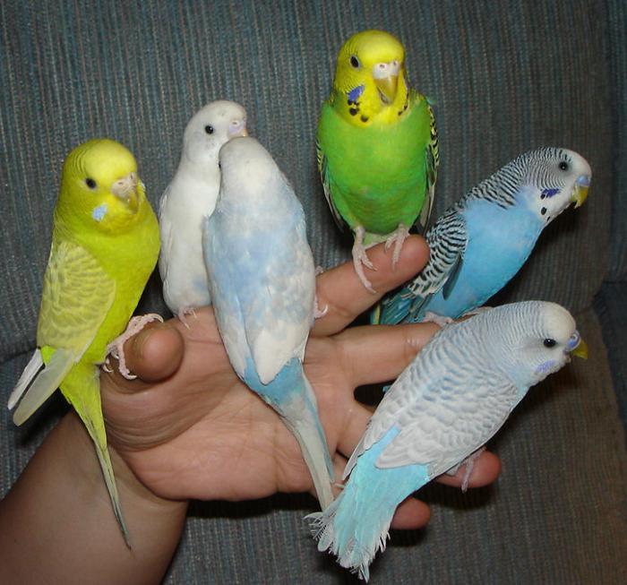 Попугаи в домашних условиях отзывы 2