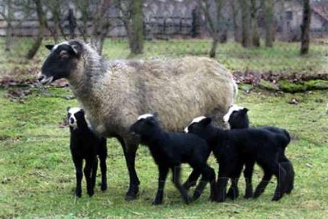 романовская порода овец отзывы