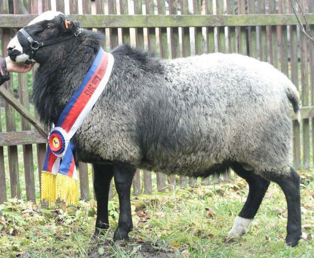 романовская порода овец характеристика