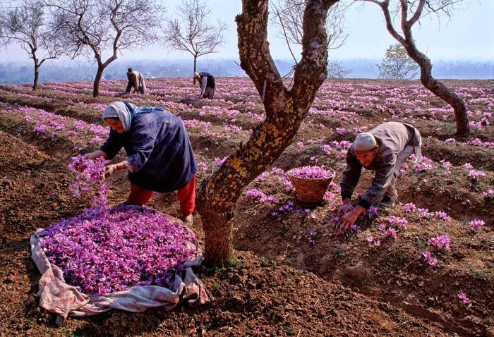 Шафран выращивание дома 84