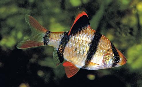 barbs fish
