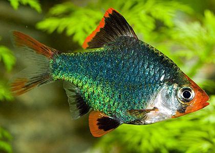 aquarium fish barbs