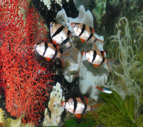 barbus fish