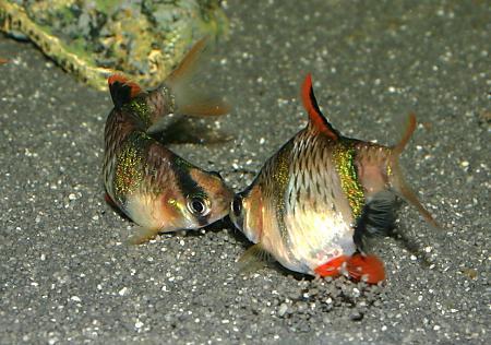 barbat sumatran fish