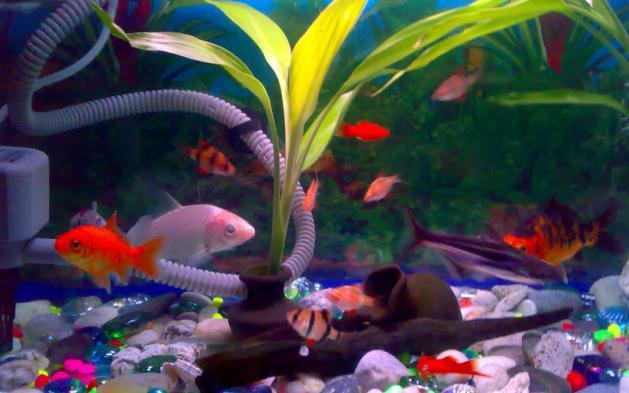 barbus fish compatibility