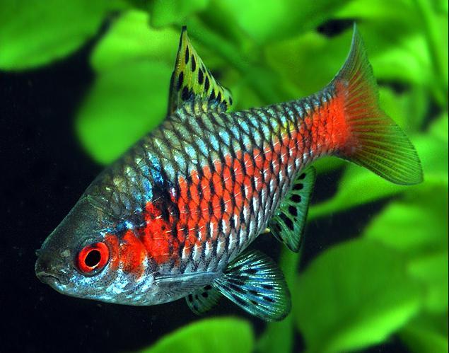 aquarium fish barbs compatibility