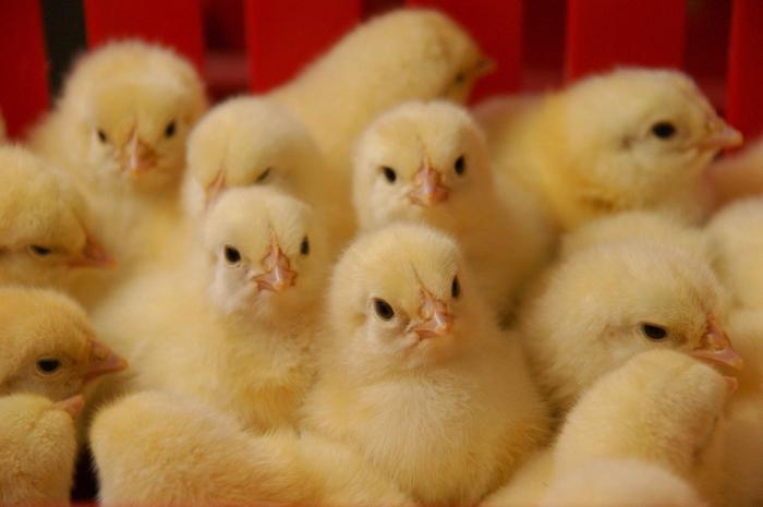 куры цыплята бройлеры