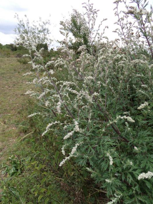 wormwood healing properties and contraindications reviews