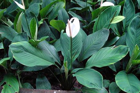 spathiphyllum at home