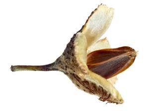 буковый орех