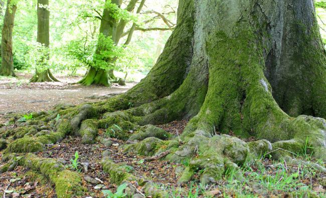 бук порода дерева