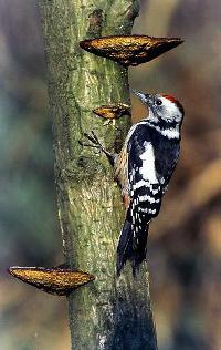 birds woods woodpecker