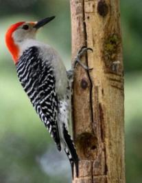 woodpecker what bird