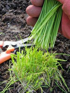 chives onion planting and care