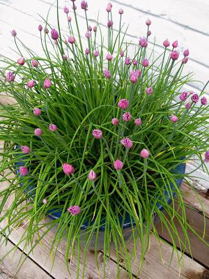 chives onion growing