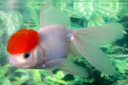 Золотая рыбка содержание и уход совместимость с