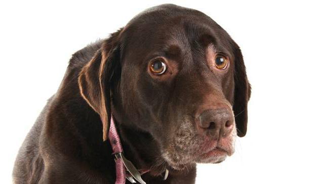 эпилепсия у собак лечение как прекратить приступы
