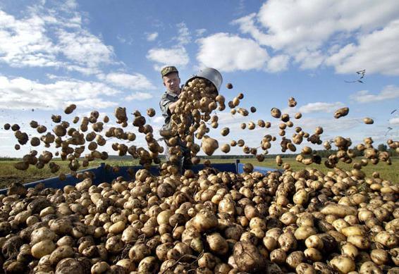К чему снится крупная картошка сонник крупная картошка во сне