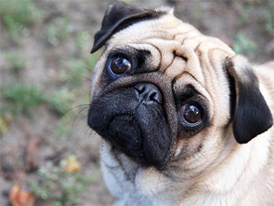 breed pug